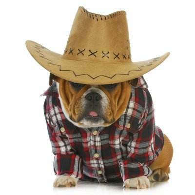 willee-cole-country-dog-english-bulldog-puppy-dressed-up-in-western-cl